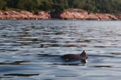 A dolphin swimming by our campsite