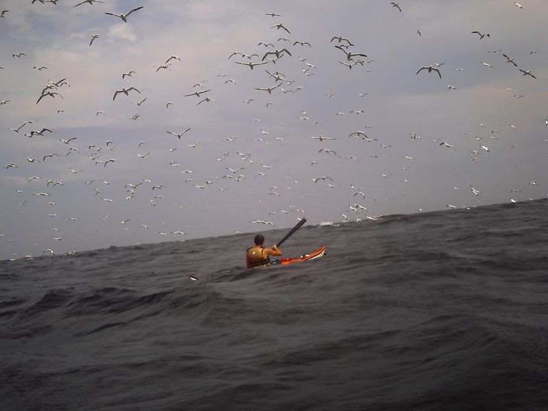 Keith Carey in rough seas surrounded by members of a Gannet colony of 80,00