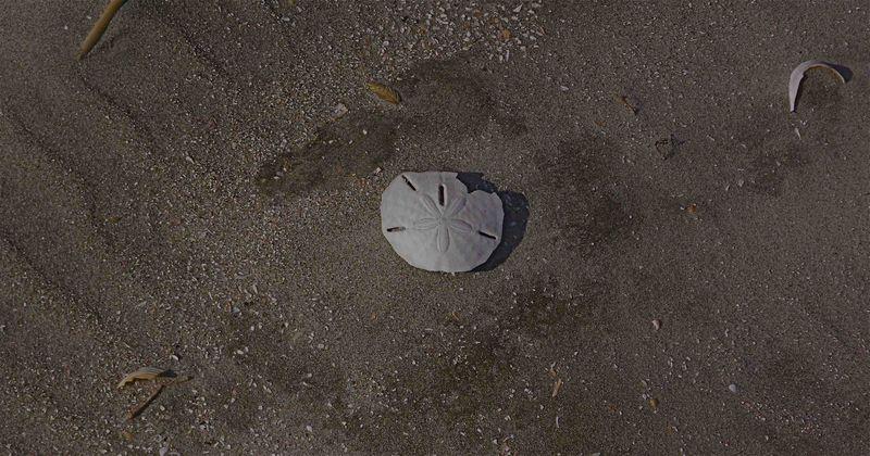 Morris Island Sand Dollar